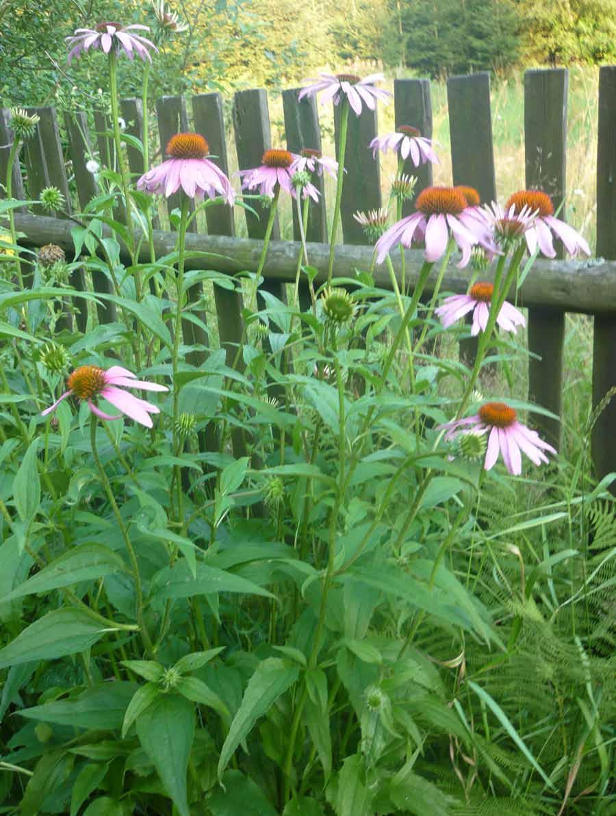 echinacea purpurea pestovani